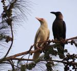 corb-albi-wikipedia-646px-Albino_crow_and_its_mother